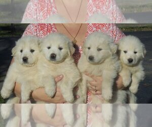 Great Pyrenees Breeder in HOPKINSVILLE, KY, USA