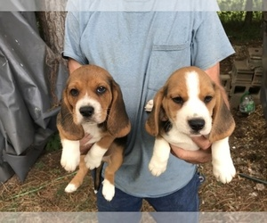 Main photo of Beagle Dog Breeder near GREAT FALLS, SC, USA