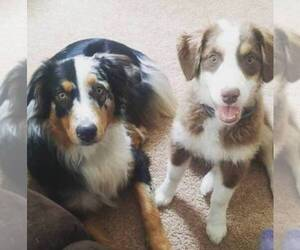 Australian Shepherd Breeder in PAXTON, MA, USA