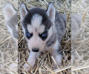 Siberian Husky Dog Breeder in ADAMS COUNTY,  USA