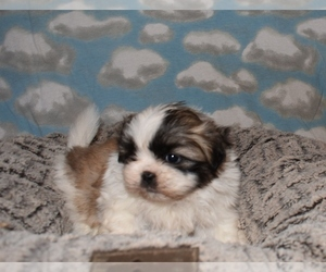Shih Tzu Dog Breeder near MOUNT VERNON, IA, USA