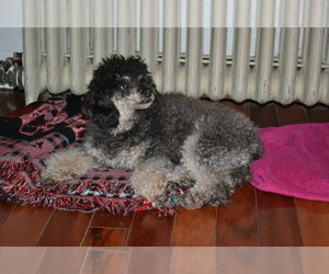 Main photo of Poodle (Toy) Dog Breeder near ONAGA, KS, USA