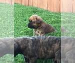 Mastiff Breeder in LUBBOCK, TX, USA