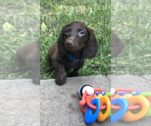 Dachshund Dog Breeder in NASHVILLE,  USA