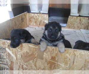 German Shepherd Dog Breeder in ASHLAND, OR