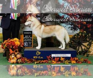 Main photo of Siberian Husky Dog Breeder near CLARKLAKE, MI, USA