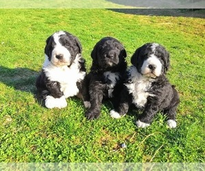 Bernedoodle Dog Breeder in SHELBYVILLE,  USA