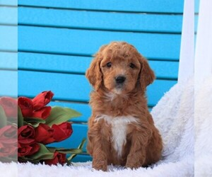 Golden Retriever Dog Breeder in GAP,  USA