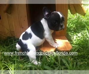 Main photo of French Bulldog Dog Breeder near HOMESTEAD, FL, USA