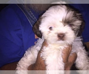 Shih Tzu Breeder in NEWALLA, OK, USA