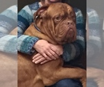 Dogue de Bordeaux Breeder in MONROE, NC, USA