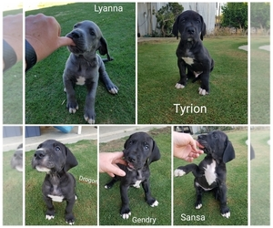 Main photo of Great Dane Dog Breeder near BAKERSFIELD, CA, USA