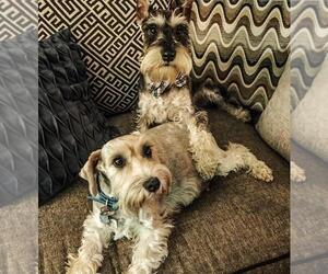 Main photo of Schnauzer (Miniature) Dog Breeder near CIMARRON HILLS, CO, USA