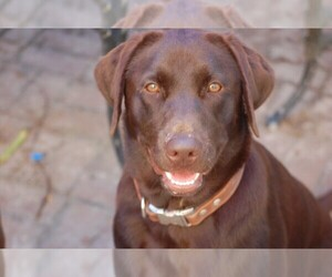 Labrador Retriever Breeder in GUYTON, GA