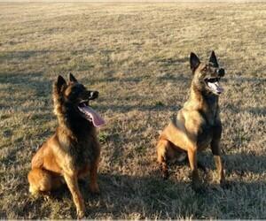 Main photo of Belgian Malinois Dog Breeder near QUITMAN, TX, USA