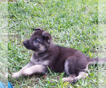 German Shepherd Dog Breeder in CONROE, TX