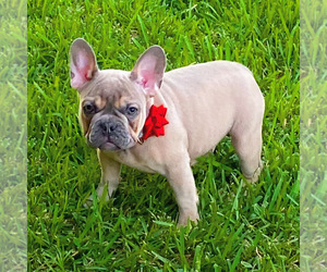 Bulldog Dog Breeder near HOMESTEAD, FL, USA