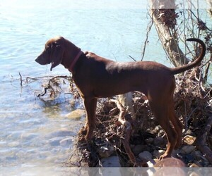 Redbone Coonhound Dog Breeder near SMITHVILLE, OK, USA