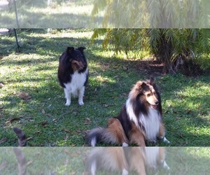 Main photo of Shetland Sheepdog Dog Breeder near DAYTONA BEACH, FL, USA
