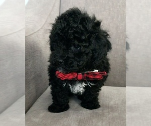 Main photo of Poodle (Toy) Dog Breeder near ROGERS, MN, USA