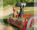 Australian Cattle Dog Breeder in HORNER, WV