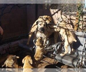 Boerboel Dog Breeder near ALBUQUERQUE, NM, USA