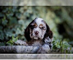 Cocker Spaniel Dog Breeder near VISTA, CA, USA