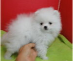 Pomeranian Breeder in GREENVILLE, GA, USA