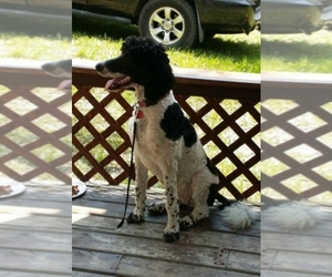 Poodle (Standard) Breeder in SEAMAN, OH, USA