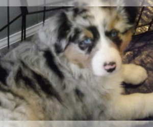 Main photo of Australian Shepherd Dog Breeder near OAK GROVE, MO, USA