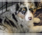 Australian Shepherd Breeder in OAK GROVE, MO, USA