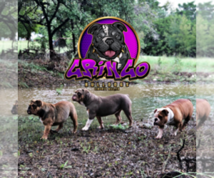 Olde English Bulldogge Dog Breeder in LIBERTY HILL,  USA