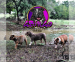 Olde English Bulldogge Breeder in LIBERTY HILL, TX, USA