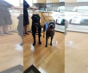 Cane Corso Breeder in FAIRFIELD, CA