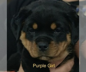 Main photo of Rottweiler Dog Breeder near ELDERSBURG, MD, USA