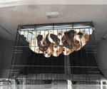 Basset Hound Breeder in TAYLORS, SC
