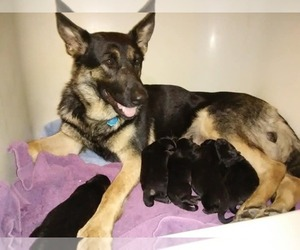 German Shepherd Dog Dog Breeder in COOPERSTOWN,  USA