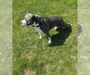 American Pit Bull Terrier Breeder in QUINCY, MI, USA