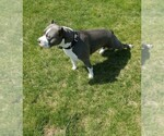 American Pit Bull Terrier Breeder in QUINCY, MI, USA
