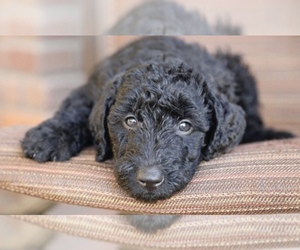 Main photo of Airedoodle Dog Breeder near PHOENIX, AZ, USA