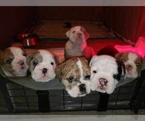 Main photo of English Bulldog Dog Breeder near CANYON LAKE, CA, USA