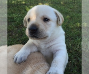 Labrador Retriever Breeder in HASLET, TX