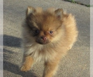 Main photo of Pomeranian Dog Breeder near HOWE, OK, USA