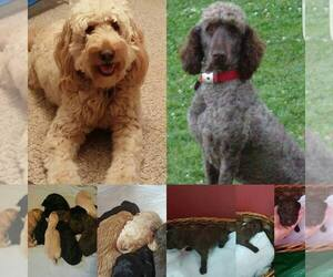 Main photo of Goldendoodle Dog Breeder near RED WING, MN, USA