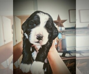 Main photo of Bernedoodle Dog Breeder near JOLIET, TX, USA