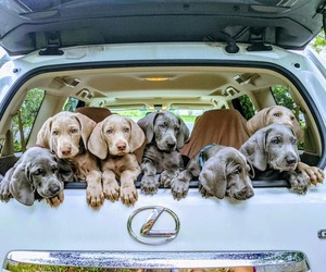 Main photo of Weimaraner Dog Breeder near JUPITER, FL, USA