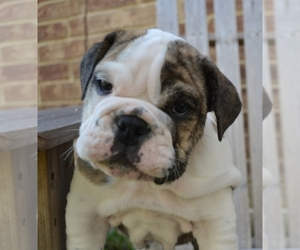 Main photo of Bulldog Dog Breeder near Rockwall, TX, USA