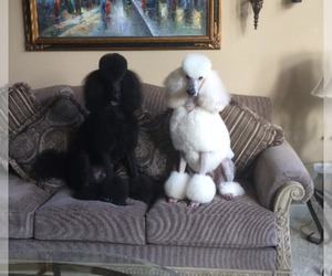 Main photo of Poodle (Standard) Dog Breeder near CLOVIS, CA, USA