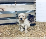Golden Retriever Breeder in REBERSBURG, PA, USA
