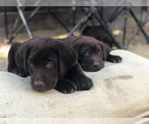 Labrador Retriever Dog Breeder in AROMAS,  USA
